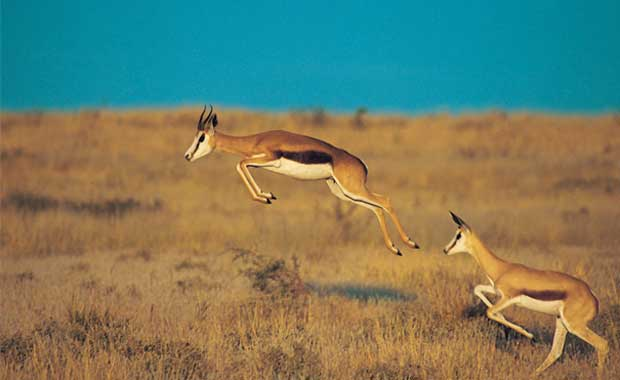 <strong>Keseli antilop</strong>
