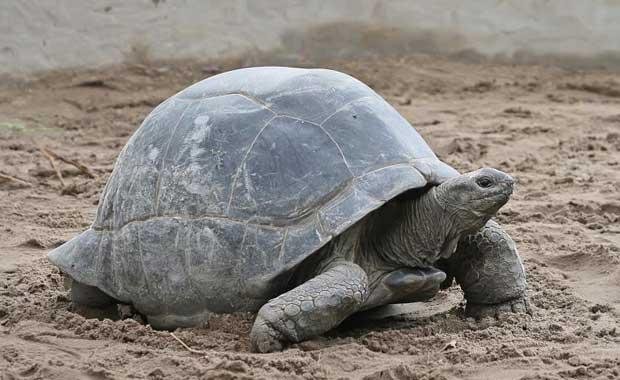 Dev Kara Kaplumbağası