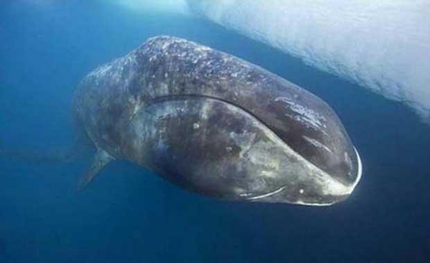 Grönland Balinası