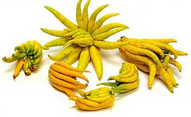 Buda'nın Eli Meyvesi