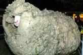 Böyle koyun  gördünüz mü?