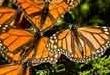 Kral kelebeklerinin sayısı artıyor