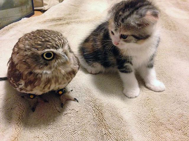 Kedi ve baykuş yavrusunun dostluğu