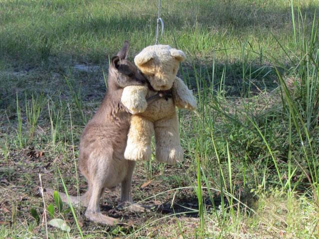 Yetim kangurunun göz yaşartan hikayesi