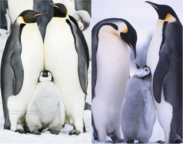 Penguenlerin en komik hayvanlar olduğunun kanıtı fotoğraflar