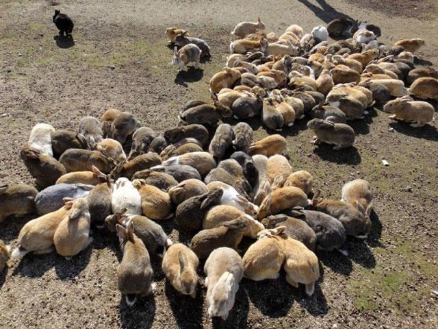 Japonya'daki tavşan adası Okunoshima