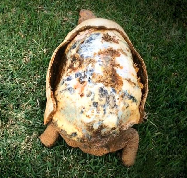 Kabuğu yanan kaplumbağaya 3D baskı ile yeni kabuk