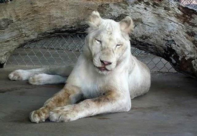 Ölmek üzere olan aslanı aşk kurtardı