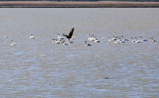 Gala Gölü'nün göçmen misafirleri