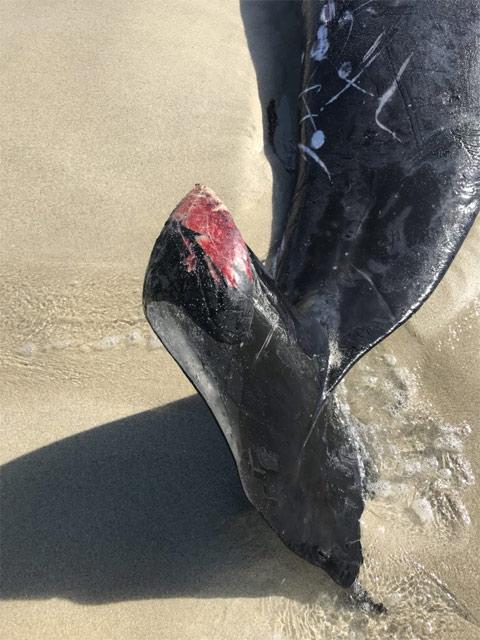 Avustralya'da peş peşe köpek balığı dehşeti