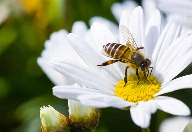 Arı soyunu devam ettirecek özel karışım
