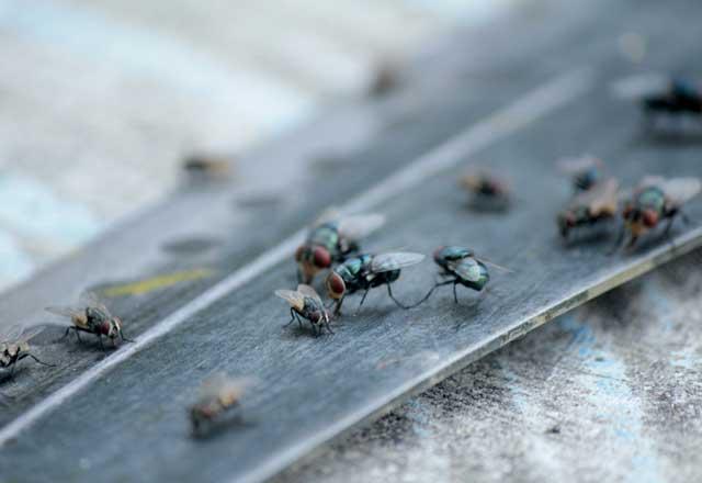 Küçük sinekleri uzaklaştıracak pratik yöntem