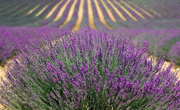 Fransa'nın lavanta kokulu bahçeleri: Provence