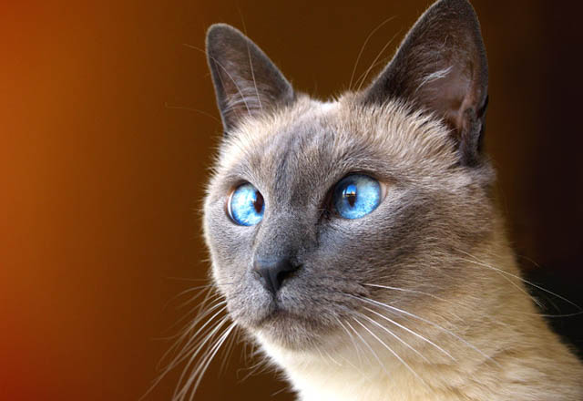 Kedilerde şaşılık neden olur?