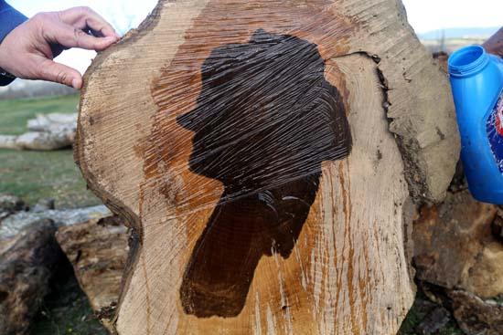 Ağacı kesti gözlerine inanamadı! Üzerine su dökünce...