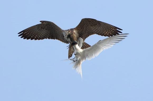 Dünyanın en hızlı kuşu o ilimizde böyle görüntülendi!