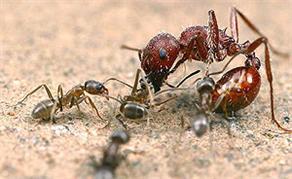 Каждый из нас знает, что муравьи являются...