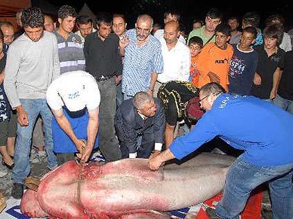 Marmara 'da 600 kiloluk köpek balığı yakalandı