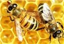 Arı sütü her hastalığın çaresi