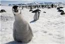 Penguenlerin en komik hayvanları olduğunun kanıtı