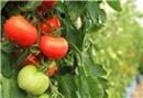 İlginç domates yetiştirme yöntemi