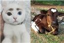Sıradışı özelliklerle dünyaya gelmiş hayvanlar