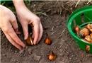 Lale soğanı ne zaman dikilir?