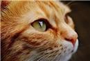 Kedilerde şaşılık belirtileri nasıl anlaşılır?