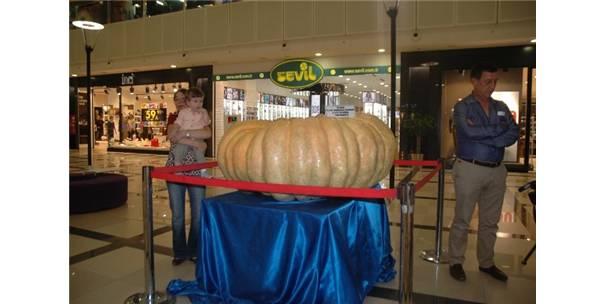 Avrupa'nın en büyük kabak yetiştiricisi, bu yıl da 495 kiloluk kabak yetiştirdi