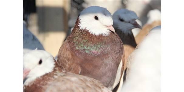 Türkiye'nin İlk Hacizli Güvercinlerinin İhalesi Başladı