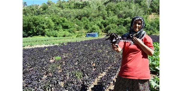 Arapgir Çiftçisi Kayısıda Bulamadığını Reyhanda Buldu