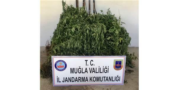 Ula'da Yasa Dışı Ekim Operasyonu