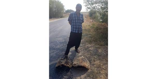 Yol Kenarında Bulunan Dev Kaplumbağa Kabukları Şaşırttı