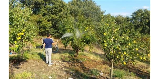 Zararlı Böceklere Karşı Armut Ağaçlarını Tütün Suyu İle Koruyor