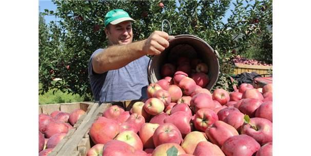 Her Beş Elmadan Biri Isparta'da Üretiliyor
