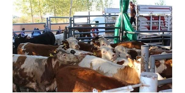 Vize'de 12 Genç Çiftçiye 72 Büyükbaş Hayvan Dağıtıldı