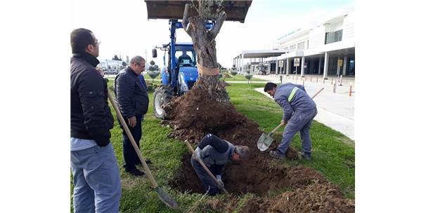 300 Yıllık Zeytin Ağaçları Odun Olmaktan Son Anda Kurtuldu