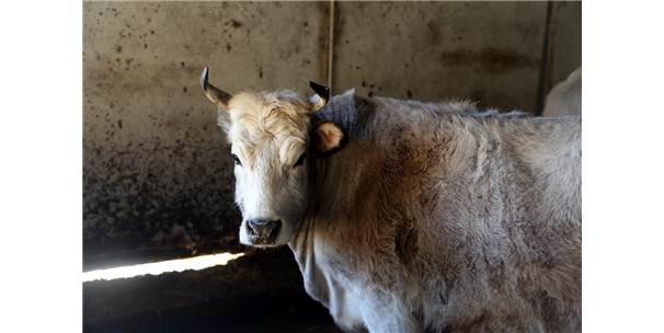 """Sekiz Yaşını Dolduran Klon Sığırlar """"Torun"""" Sahibi Oldu"""