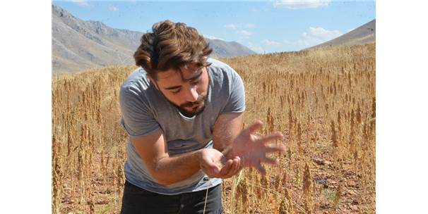 Elbistan'da 'Astronot Gıdası' Kinoanın İlk Hasadı Yapıldı