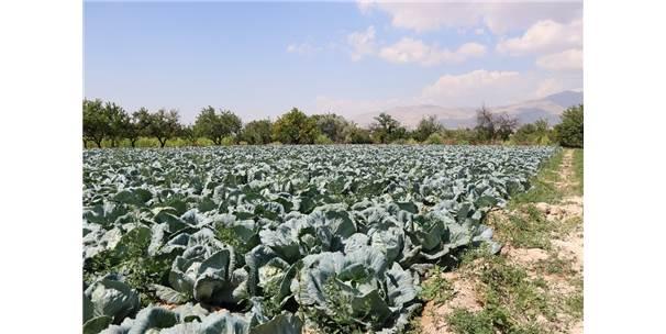 Niğde Beyaz Lahana Üretiminde Türkiye Birincisi
