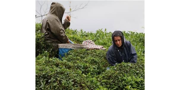 Çay Sezonunu Kemençe Eşliğinde Çay Toplayarak Sonlandırdılar