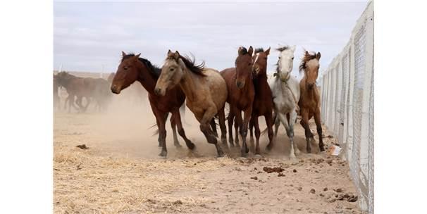 Yılkı Atları Kırgızların Elinde Evcilleşiyor Yozgat Haberleri