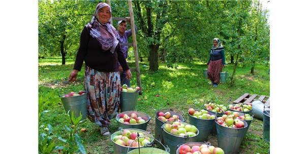 Amasyalılar 2 Bin Yıldır Elma Yetiştiriyor