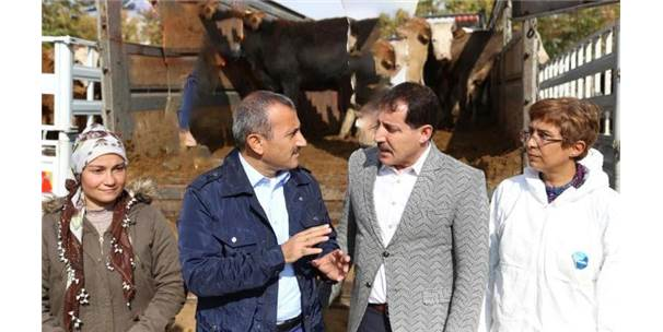 Tunceli'de Genç Çiftçilere 400 Düve Hibe Edildi