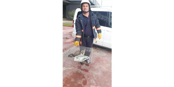 Malatya'da Fabrikaya Giren Sansar, İtfaiye Ekiplerince Yakalandı