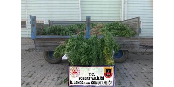 Yozgat'ta 964 Kök Hint Keneviri Ele Geçirildi