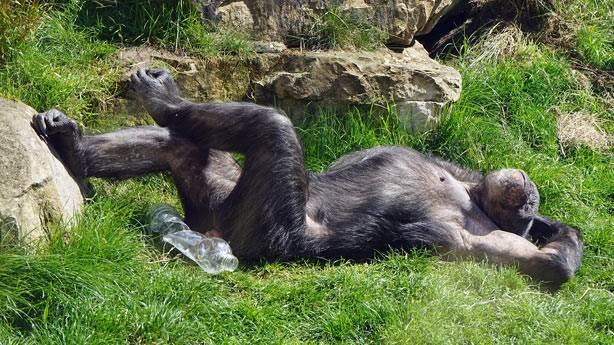 Şempanze yuvasının insan yataklarından daha temiz olduğu ortaya çıktı