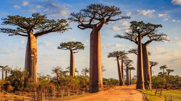 Afrika'nın simgesi Baobab ağaçları iklim değişikliği sebebiyle kuruyor