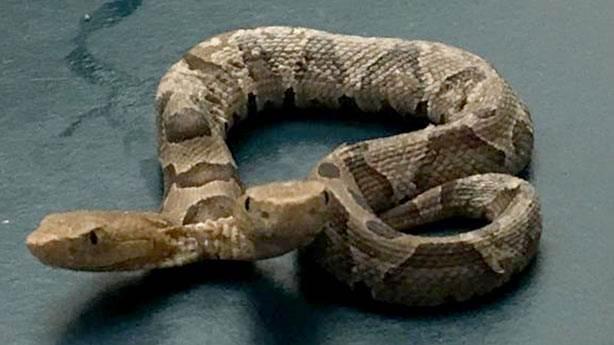 Çift başlı yılan görenleri şaşırtıyor