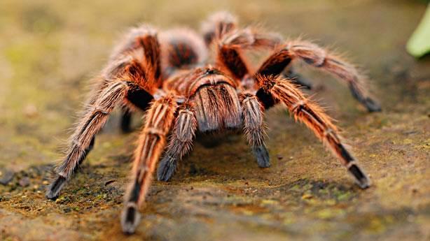 7. En yakın örümcekle aranızda 90 cm mesafe var!